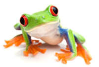 red-eyed-tree-frog-4